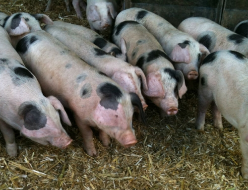 Dales Water Collaborates with Pig World